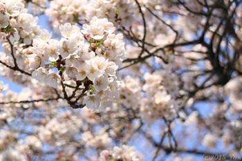 近所の公園の桜[EOS M3, EF-M18-55mm F3.5-5.6 IS STM(55mm), Av, F5.6, 1/320, +1 1/3, ISO 100, PS:風景]
