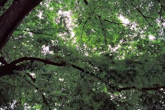 公園の木を見上げたら[EOS7, EF50mmF2.5コンパクトマクロ, Av, F3.5, 1/45s, センシアIII